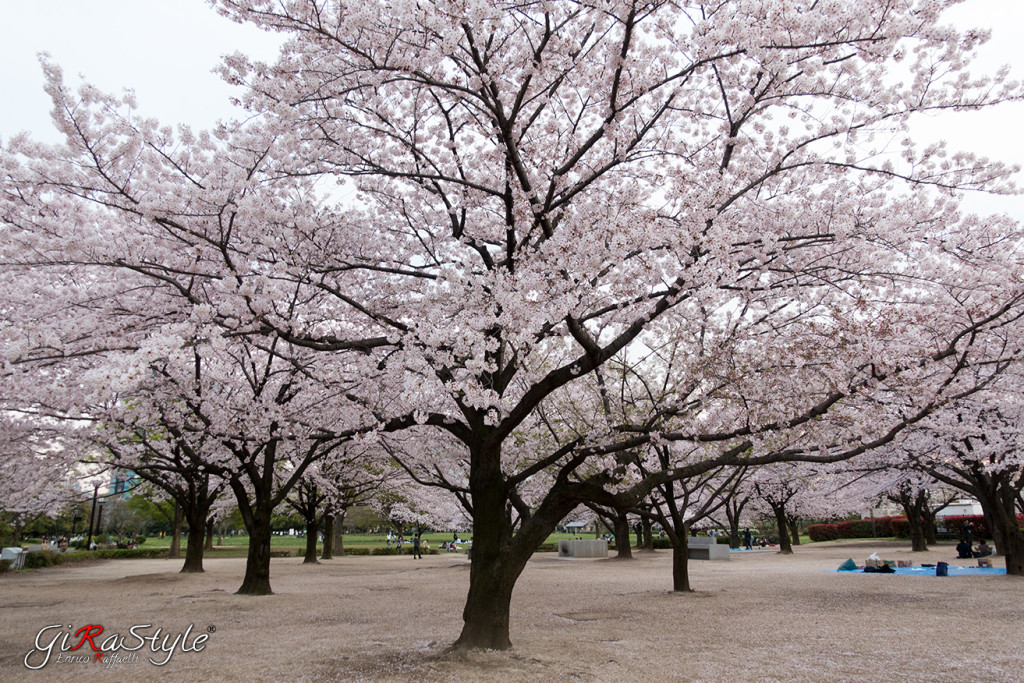 Cherry-bloom-kiba