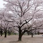 Sakura fioriti in Giappone