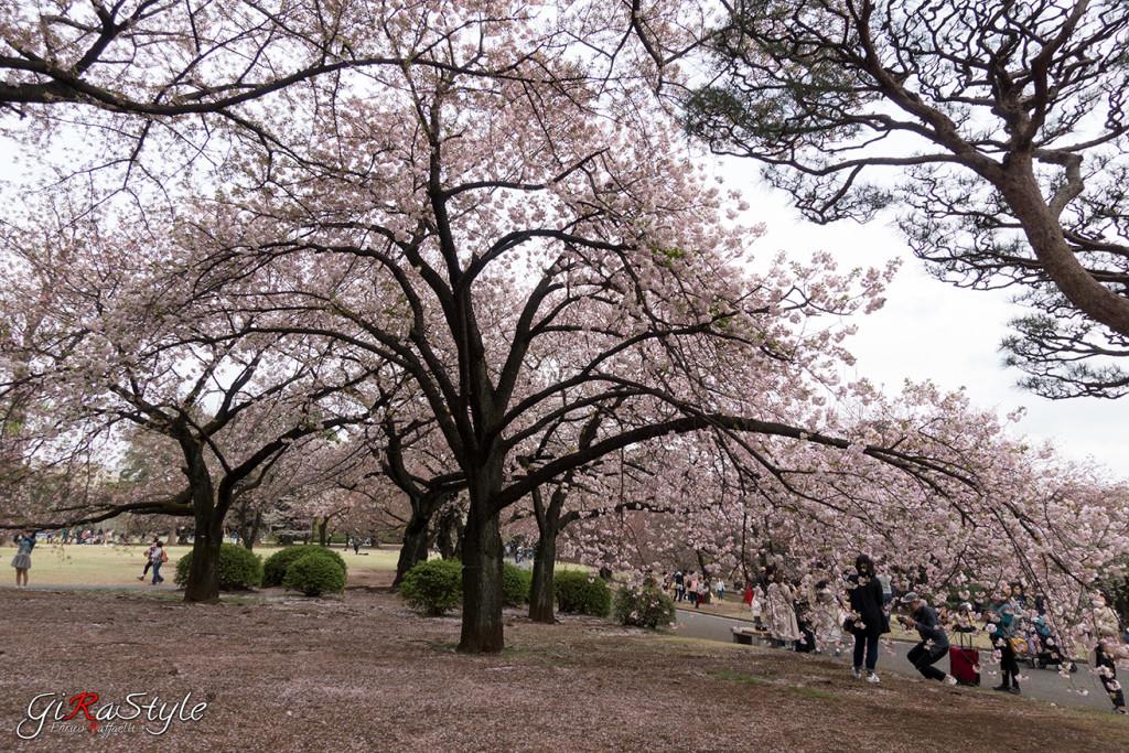 Il parco giapponese di Shinjuku Gyoen è un'ottimo posto dove vedere la fioritura dei ciliegi