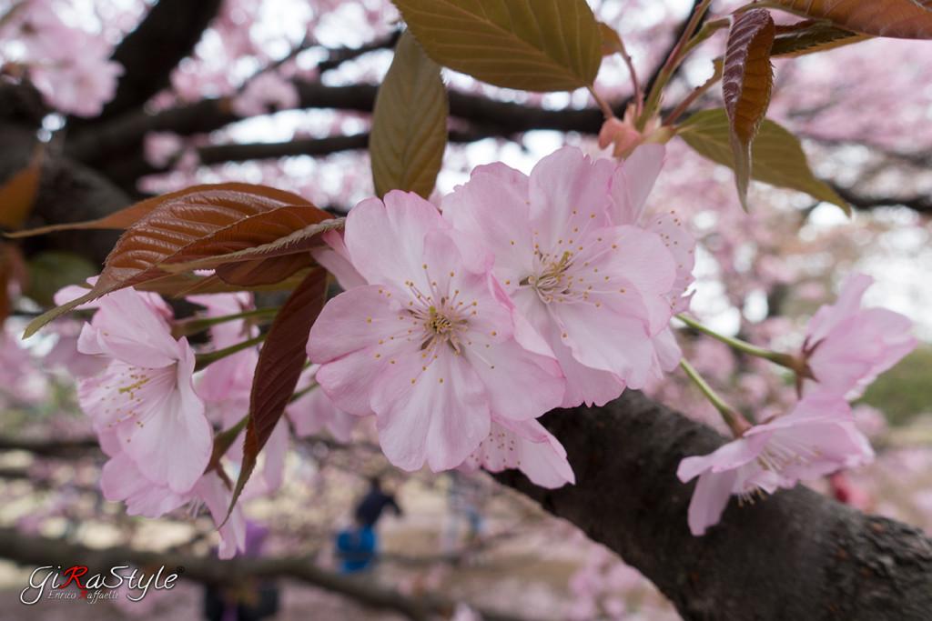 Hanami dei fiori di ciliegio