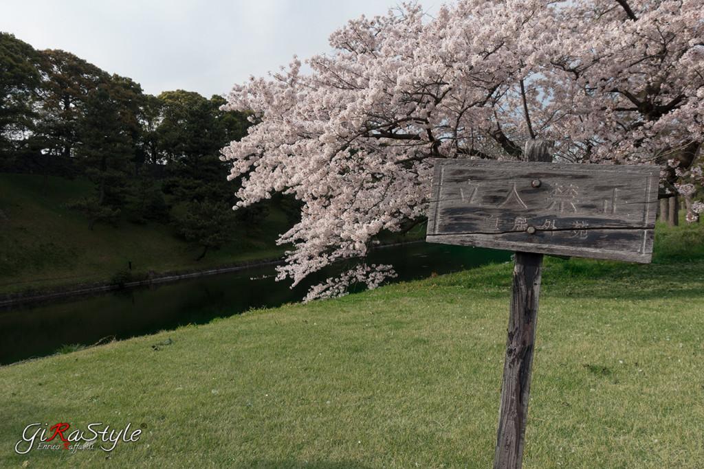 Fiori di Ciliegio al Palazzo Imperiale di Tokyo