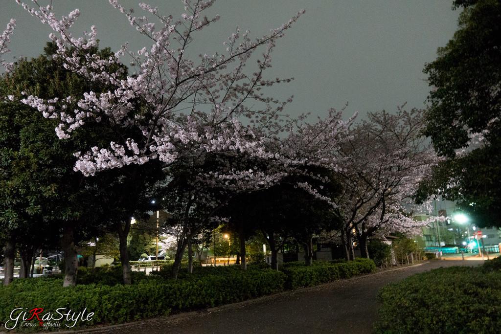 ciliegi-di-notte