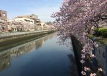 Fiume e ciliegi fioriti a Tokyo
