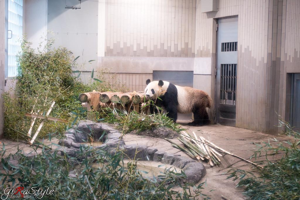 panda-maschio-arrivato-a-nanna