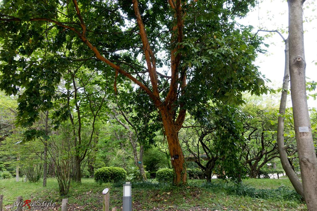 albero-con-corteccia-arancione
