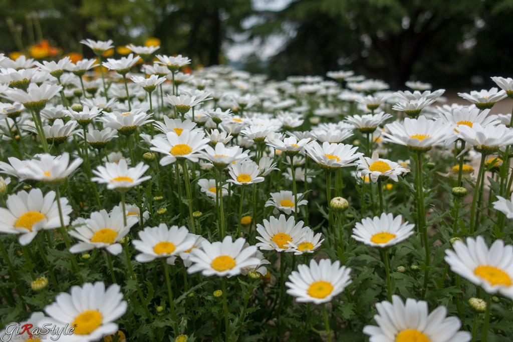 margherite-a-giardino-botanico