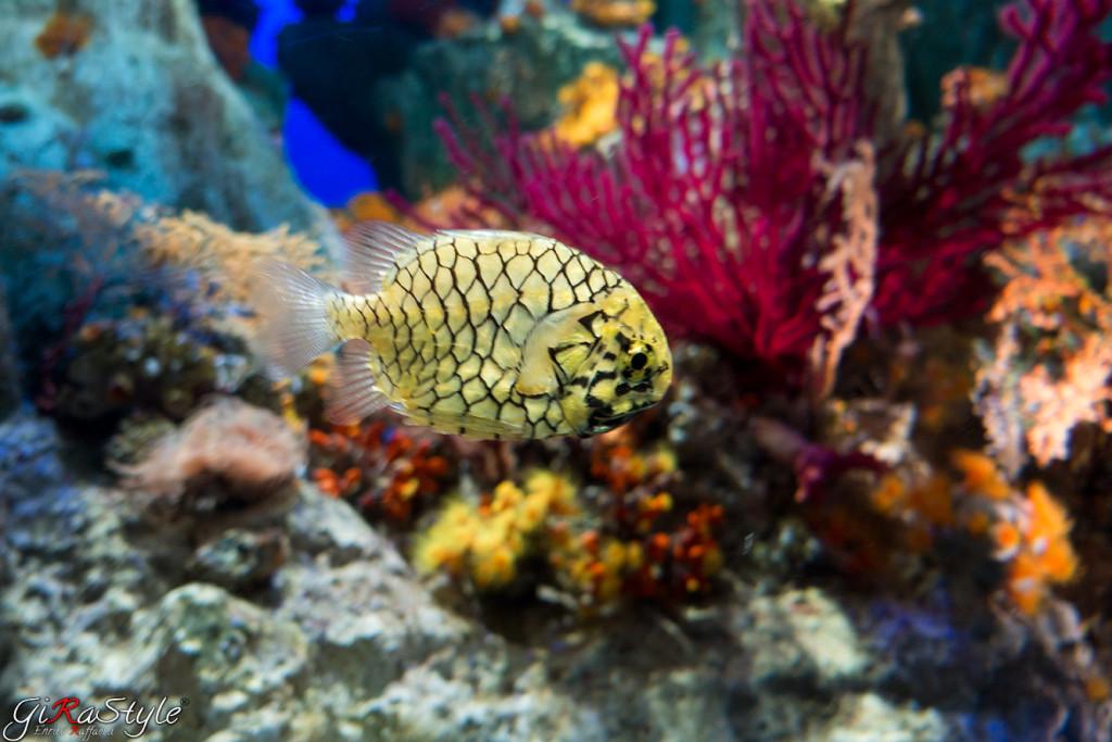 pesce-giallo