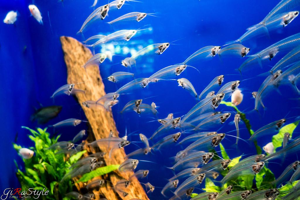 pesce-trasparente