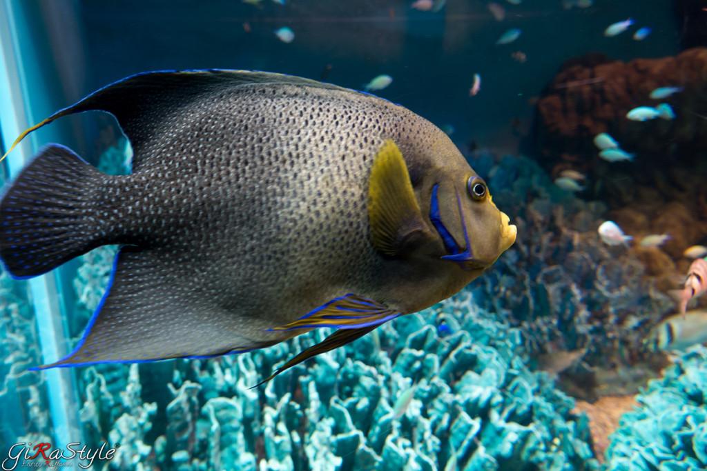 pescione