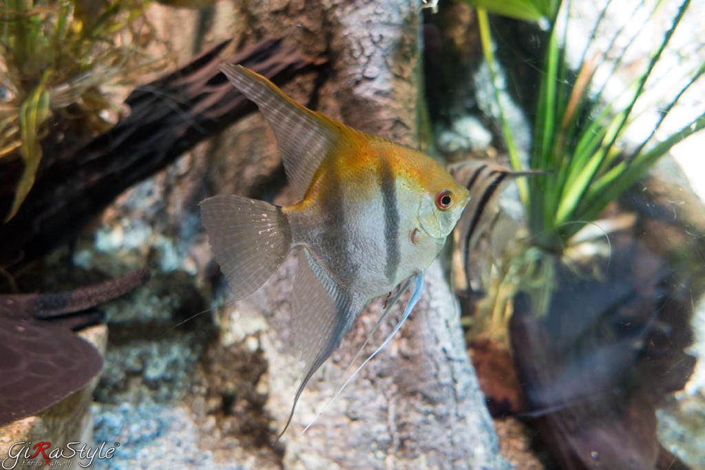 scalare-pesce-acquario